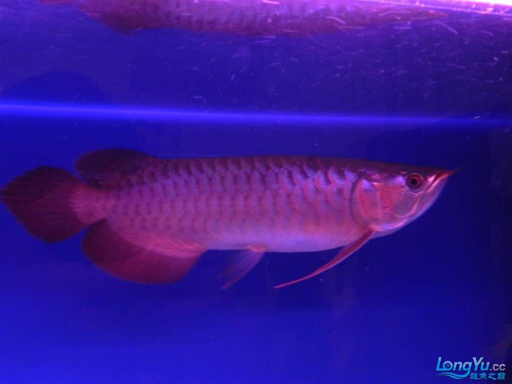 大家帮忙看看这龙算是绿皮吗?自然光下和红灯下 西安观赏鱼信息 西安博特第10张