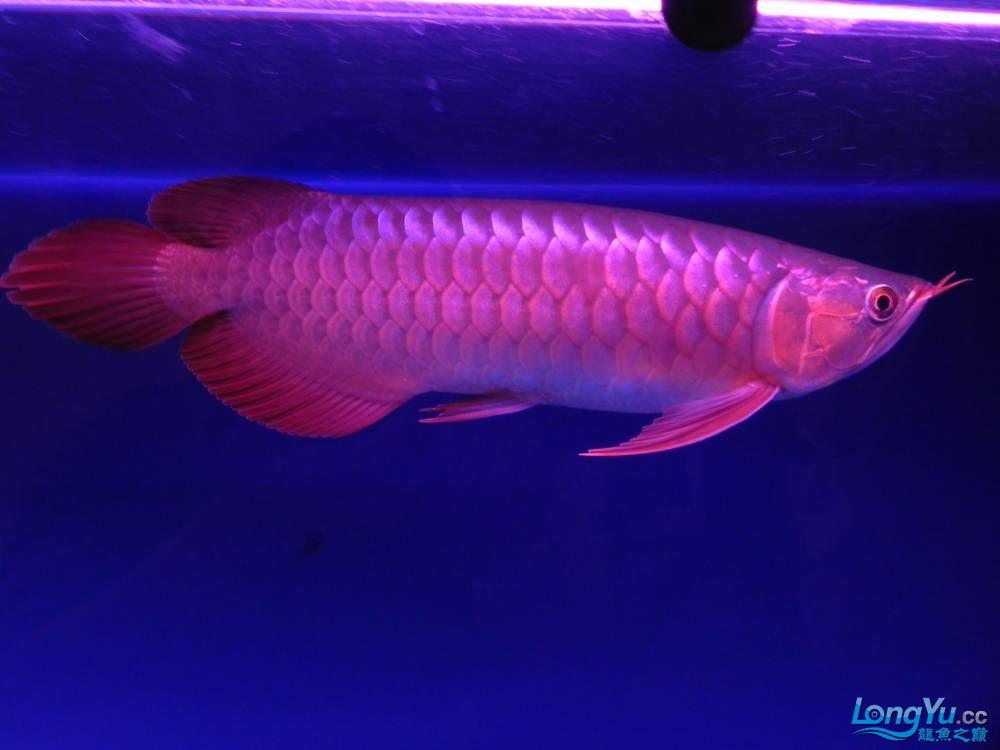 大家帮忙看看这龙算是绿皮吗?自然光下和红灯下 西安观赏鱼信息 西安博特第11张