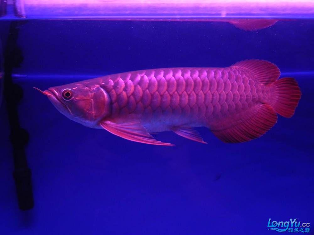 大家帮忙看看这龙算是绿皮吗?自然光下和红灯下 西安观赏鱼信息 西安博特第12张