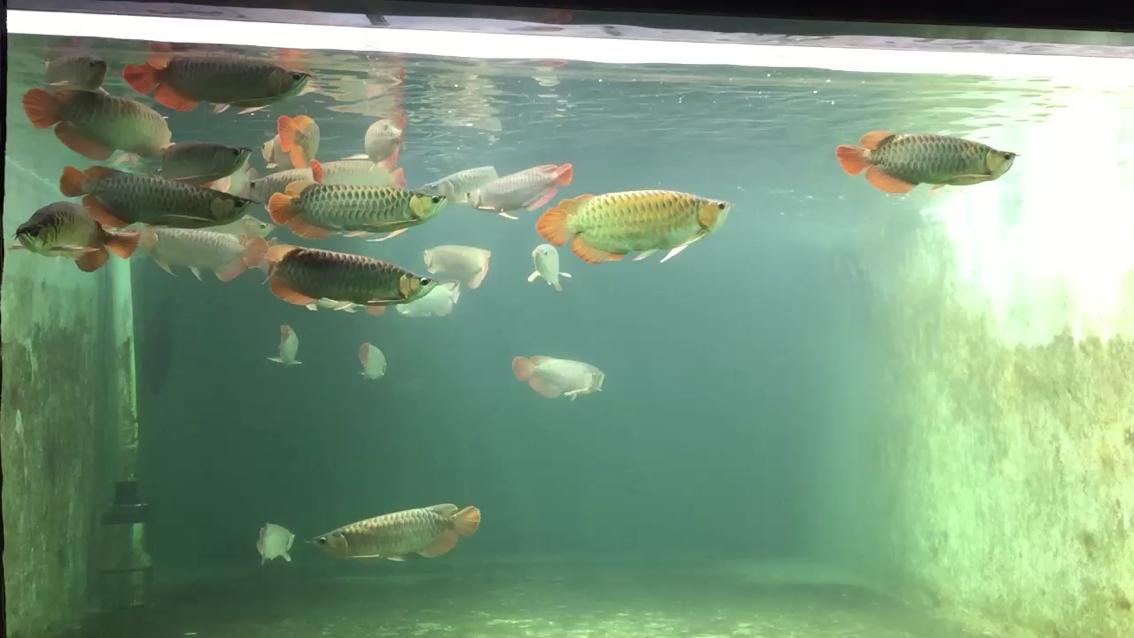 每天都享受自然光照的红龙鱼