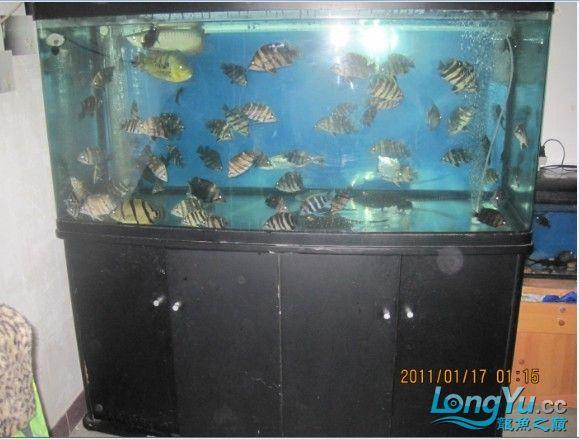 百【西安汇丰观赏鱼】虎缸四纹也疯狂 西安龙鱼论坛 西安博特第4张