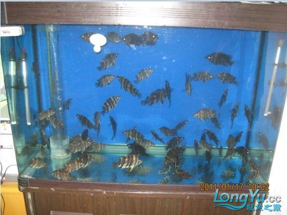 百【西安汇丰观赏鱼】虎缸四纹也疯狂 西安龙鱼论坛 西安博特第6张