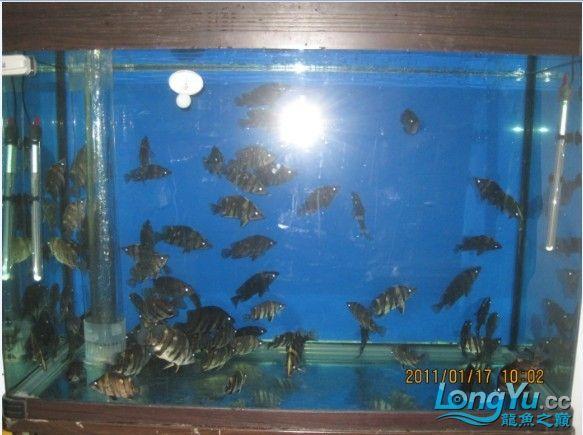 百【西安汇丰观赏鱼】虎缸四纹也疯狂 西安龙鱼论坛 西安博特第7张