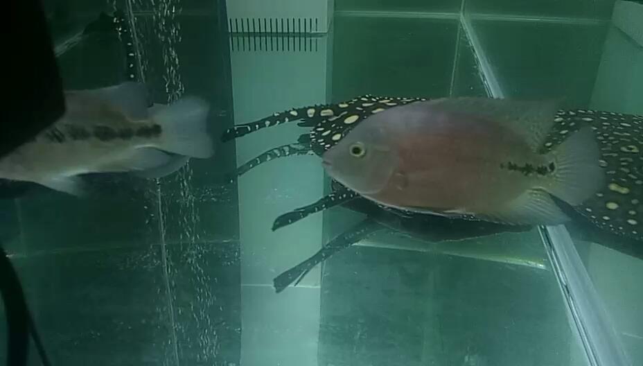 以鱼会友魟鱼 西安观赏鱼信息 西安博特第1张