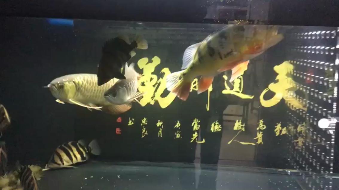 【西安印尼虎鱼价格】观鱼虎鱼 西安观赏鱼信息