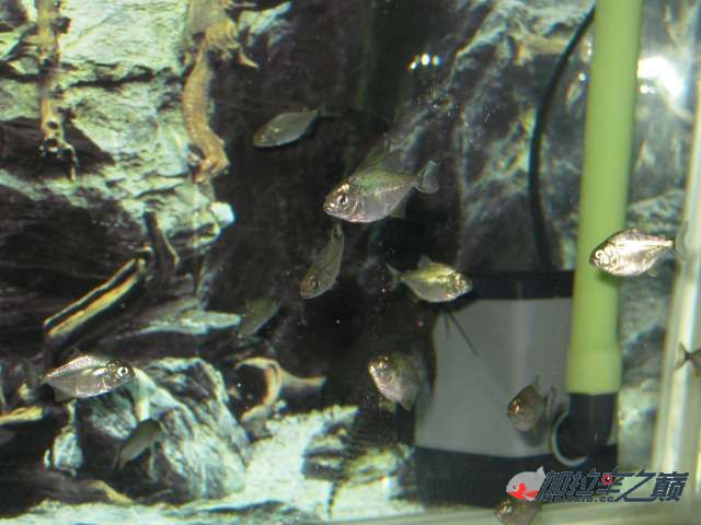 今天刚到的红腹挂个档 西安观赏鱼信息 西安博特第2张