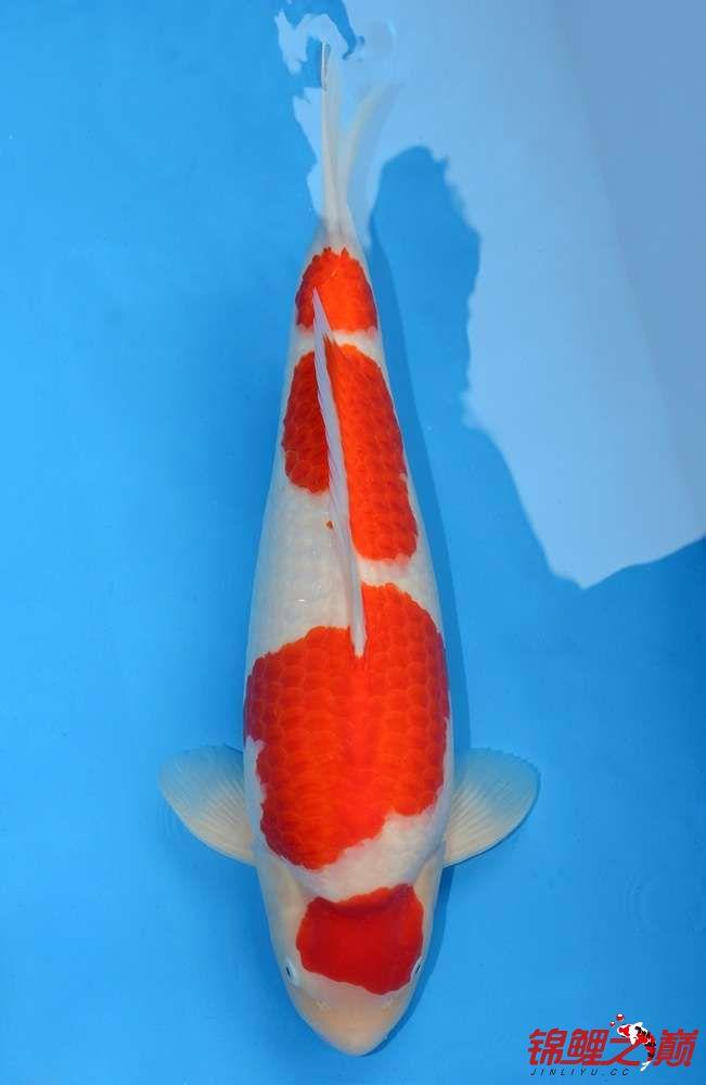 我给大家来放毒 西安观赏鱼信息 西安博特第2张