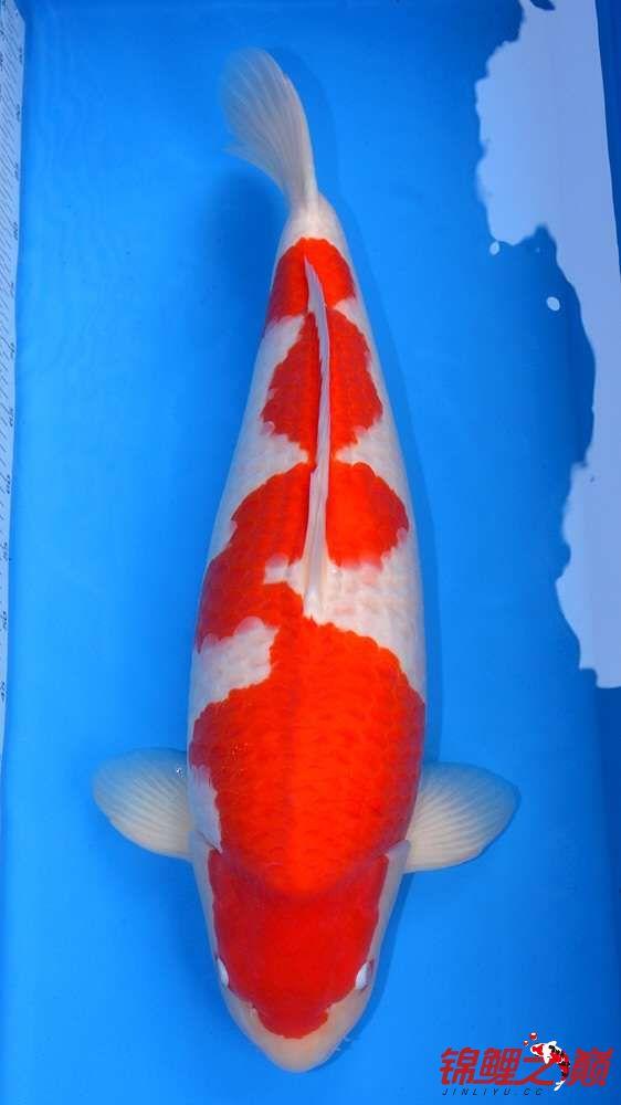 我给大家来放毒 西安观赏鱼信息 西安博特第3张