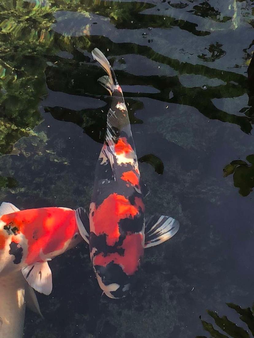 美吗锦鲤 西安观赏鱼信息 西安博特第2张