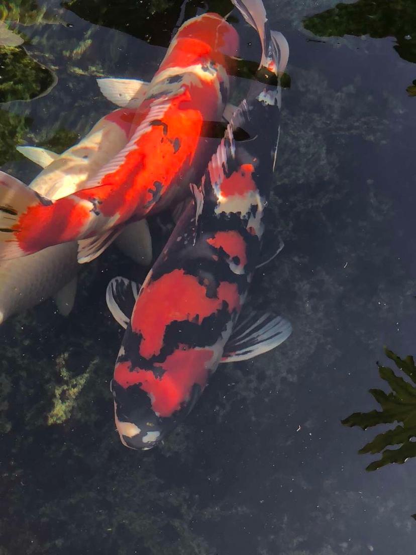 美吗锦鲤 西安观赏鱼信息 西安博特第3张