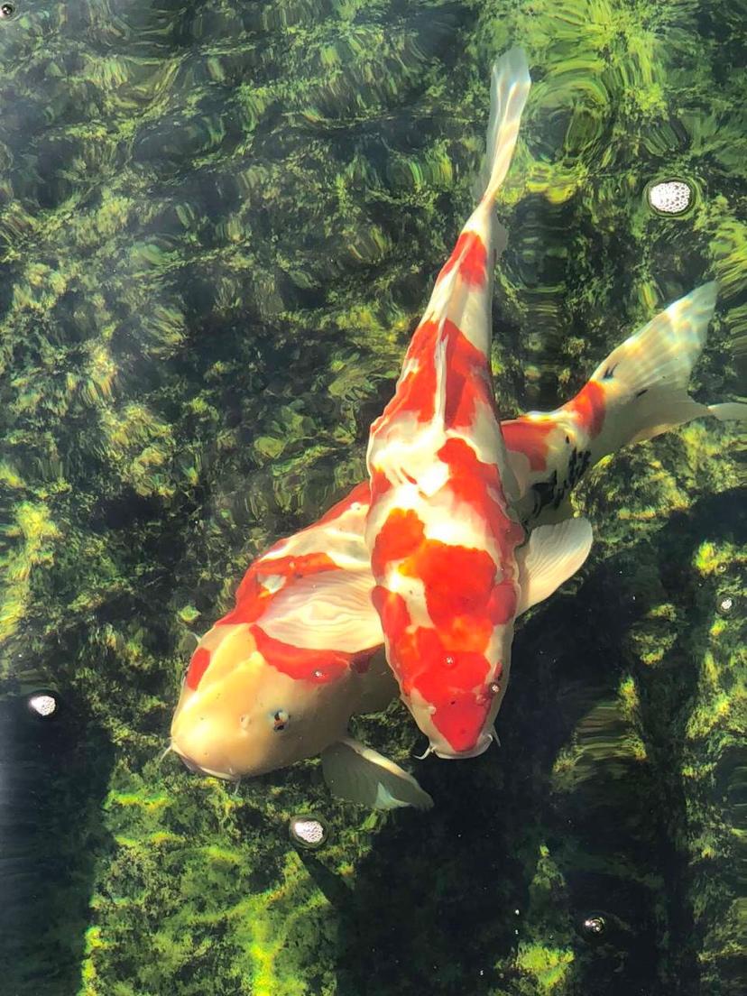 美吗锦鲤 西安观赏鱼信息 西安博特第7张