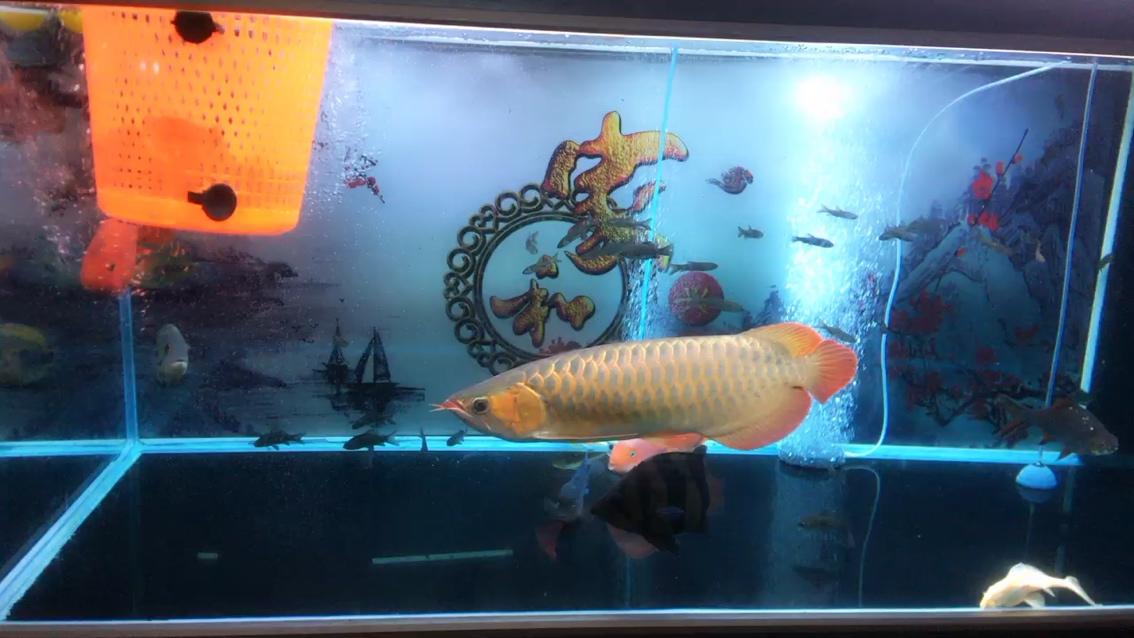 每周一次换水龙鱼 西安龙鱼论坛
