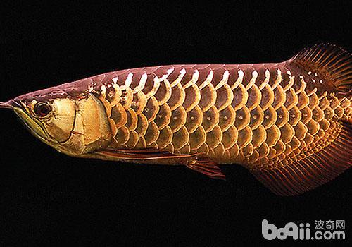 谁说大鱼吃小鱼?超级和平 西安龙鱼论坛 西安博特第2张