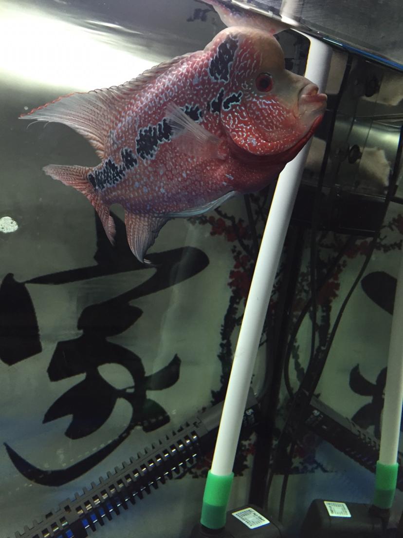 罗【西安哪里有观赏鱼】罗汉鱼 西安观赏鱼信息 西安博特第2张
