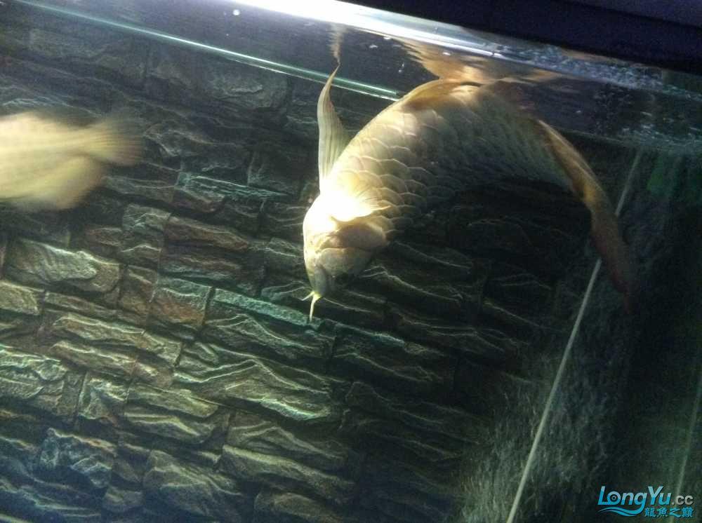 龙鱼生病了大家快帮我看看急急急 西安龙鱼论坛 西安博特第2张