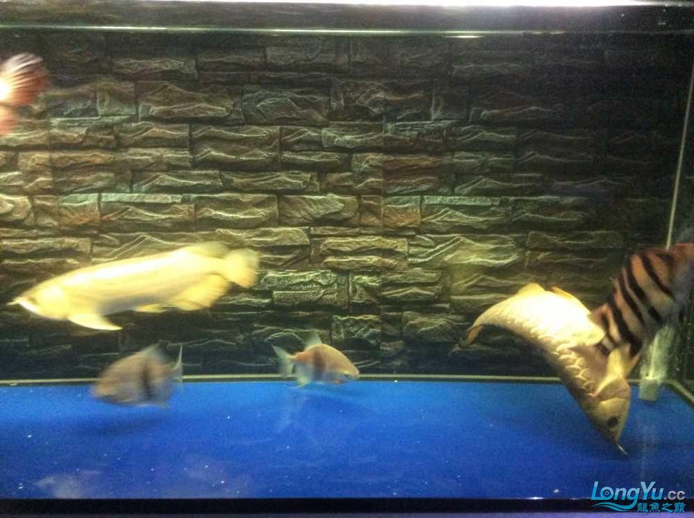 龙鱼生病了大家快帮我看看急急急 西安龙鱼论坛 西安博特第4张