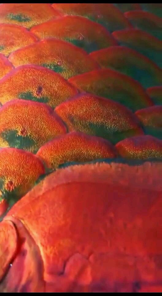 天然的鳞片龙鱼 西安龙鱼论坛 西安博特第1张
