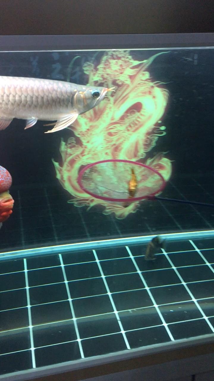 红龙的第一次龙鱼 西安龙鱼论坛