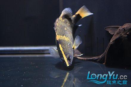 我家的爛混養!!更女皇大帆】新!!! 西安观赏鱼信息 西安博特第3张