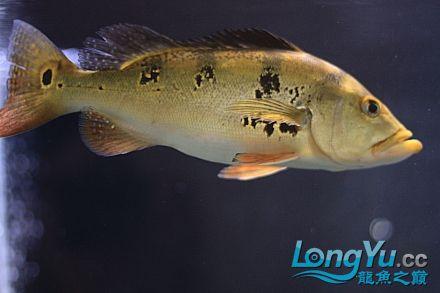 我家的爛混養!!更女皇大帆】新!!! 西安观赏鱼信息 西安博特第6张
