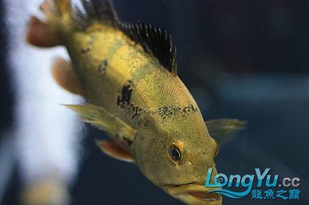 我家的爛混養!!更女皇大帆】新!!! 西安观赏鱼信息 西安博特第10张