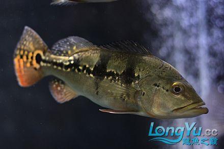 我家的爛混養!!更女皇大帆】新!!! 西安观赏鱼信息 西安博特第11张