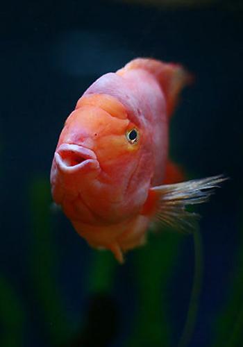想请一尾蓝底过背问价 西安观赏鱼信息