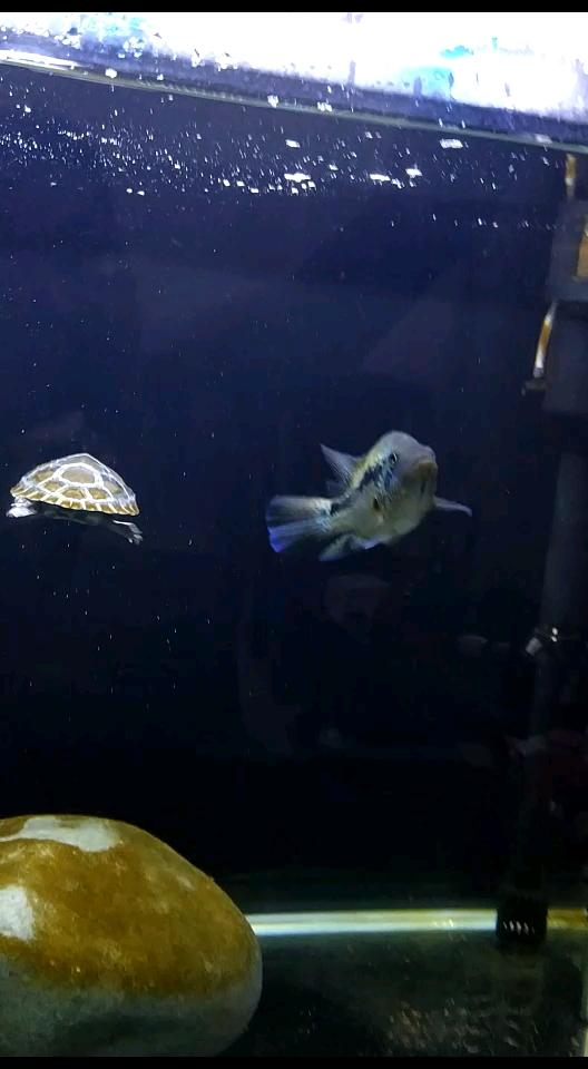 一龟一鱼三湖慈鲷 西安观赏鱼信息 西安博特第1张
