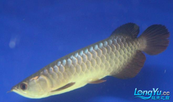 看看这条小龙怎么样?高手鉴定下品种啊? 西安观赏鱼信息 西安博特第1张