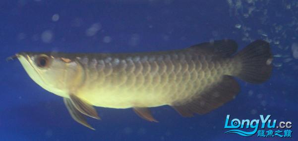 看看这条小龙怎么样?高手鉴定下品种啊? 西安观赏鱼信息 西安博特第2张