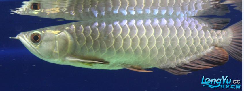 看看这条小龙怎么样?高手鉴定下品种啊? 西安观赏鱼信息 西安博特第3张