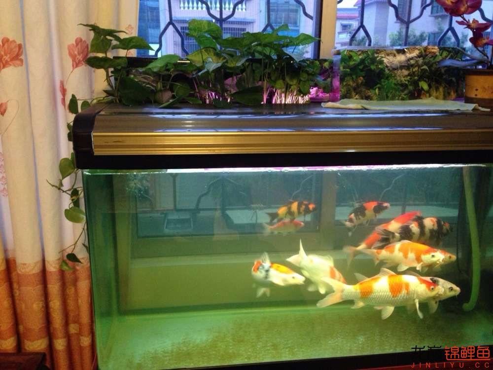 我的锦鲤路想认识更多朋友 西安龙鱼论坛 西安博特第2张