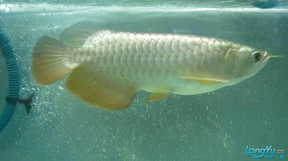想给他配点混养的鱼 不知道什么好 西安龙鱼论坛 西安博特第3张