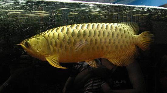 黄鹦鹉的两个问题 西安龙鱼论坛