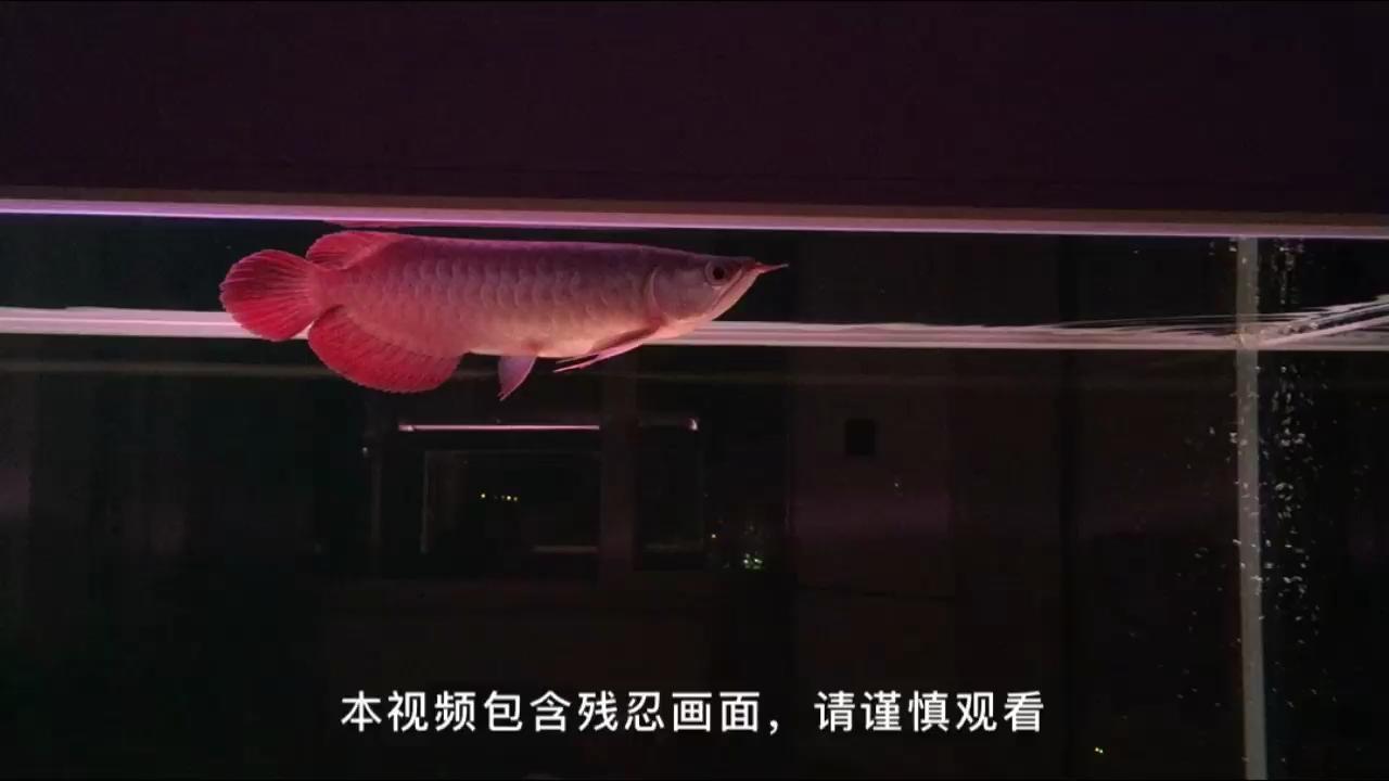 超炎S本视频【西安白子魟鱼】包含残忍画面请谨慎观看 西安观赏鱼信息