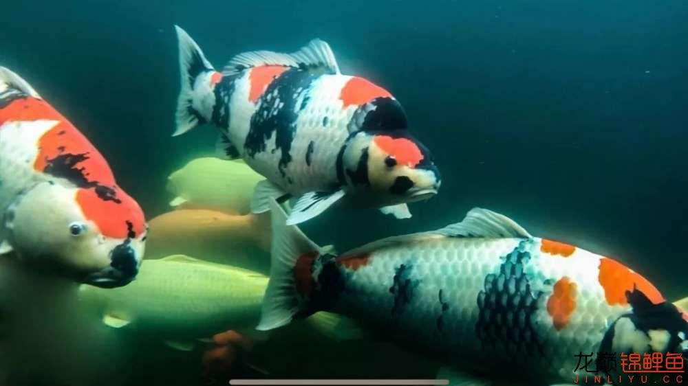 鱼好是好【西安水族箱批售】可是总觉得变形了? 西安龙鱼论坛 西安博特第4张