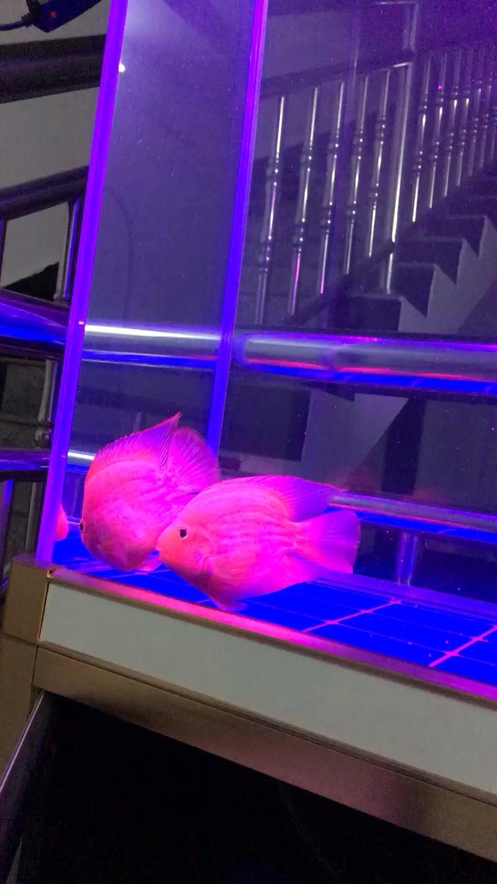 这是什么鹦鹉【西安印尼红龙鱼价格】鹦鹉鱼