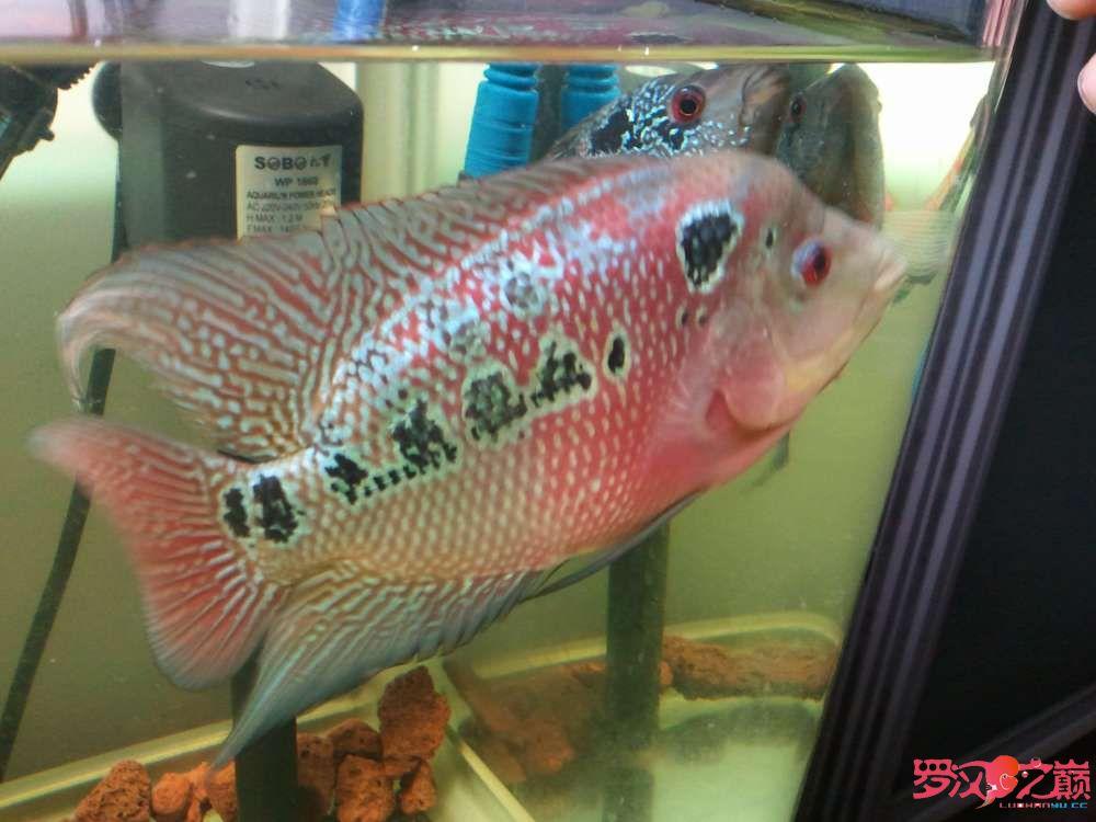 【西安苏门答腊虎】第一条从苗子养起的罗 西安观赏鱼信息 西安博特第2张
