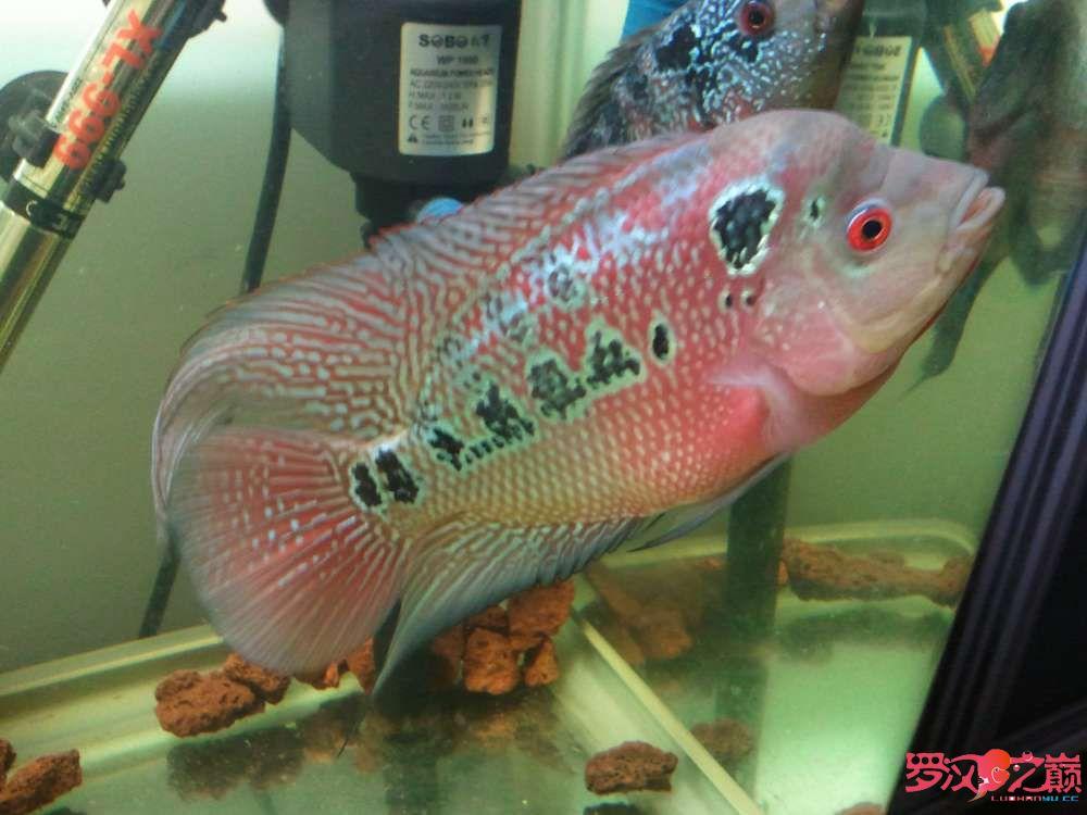 【西安苏门答腊虎】第一条从苗子养起的罗 西安观赏鱼信息 西安博特第1张