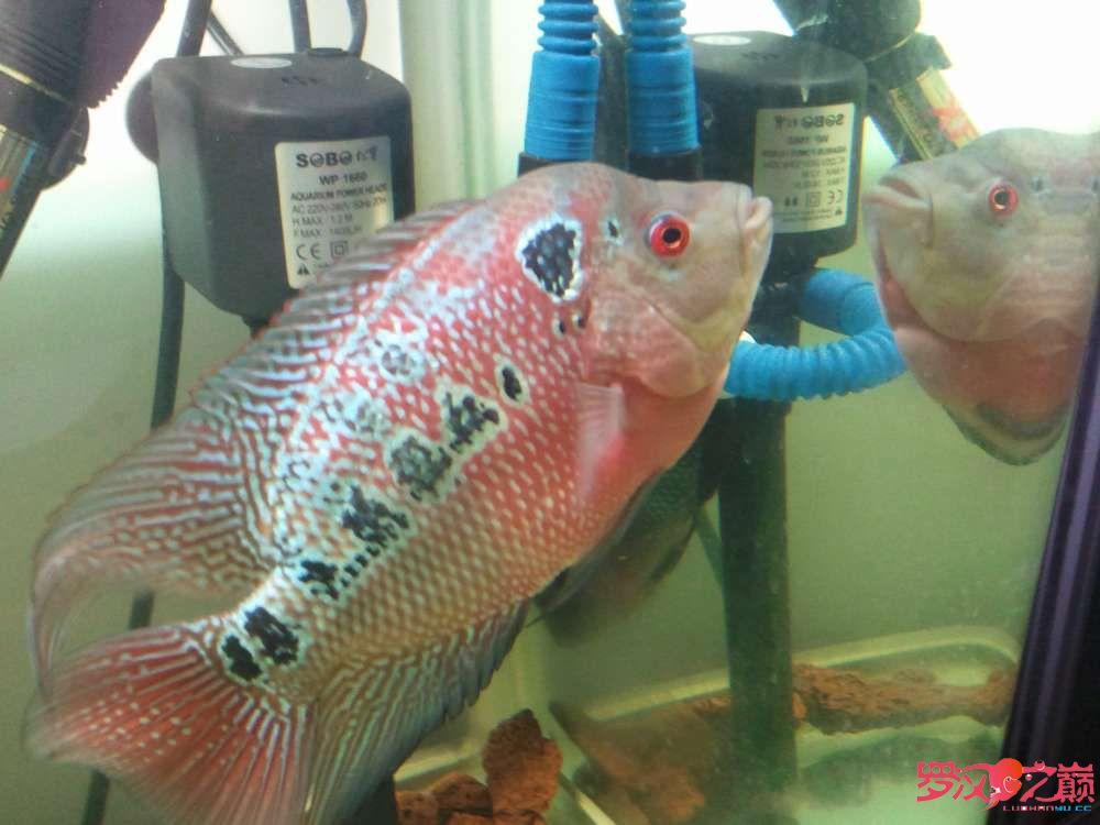 【西安苏门答腊虎】第一条从苗子养起的罗 西安观赏鱼信息 西安博特第3张