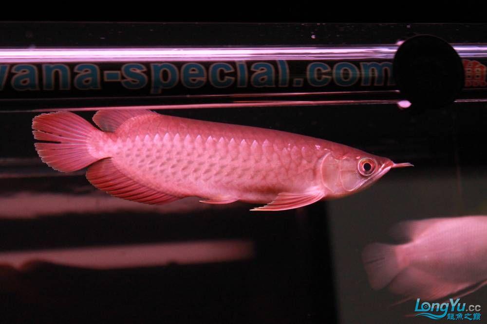 在哈尔滨龙祥兄团购的小红快来看啊 西安观赏鱼信息 西安博特第1张