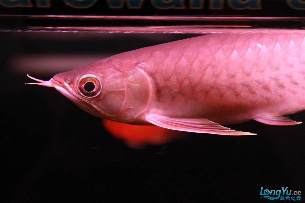 在哈尔滨龙祥兄团购的小红快来看啊 西安观赏鱼信息 西安博特第3张