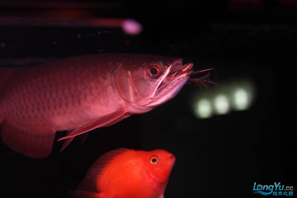在哈尔滨龙祥兄团购的小红快来看啊 西安观赏鱼信息 西安博特第6张
