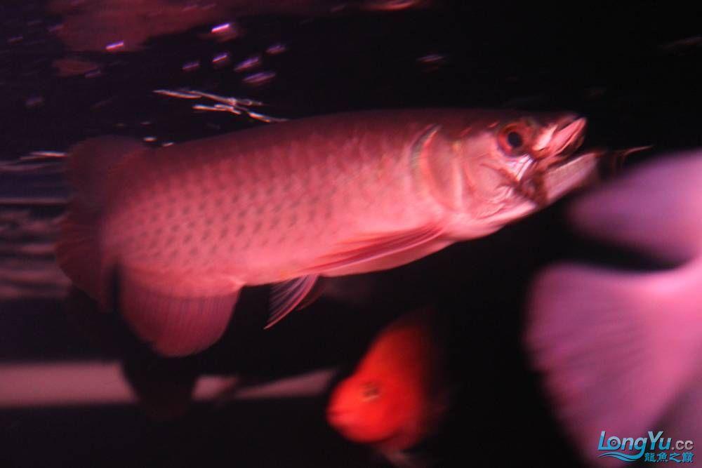 在哈尔滨龙祥兄团购的小红快来看啊 西安观赏鱼信息 西安博特第5张