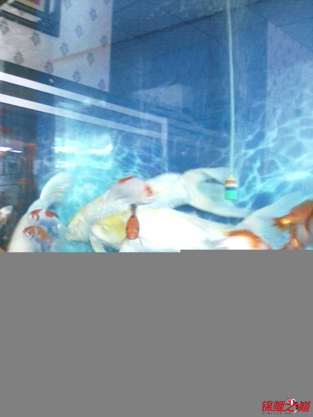 【西安黄化银龙】超大龙凤有图有真相 西安龙鱼论坛 西安博特第2张