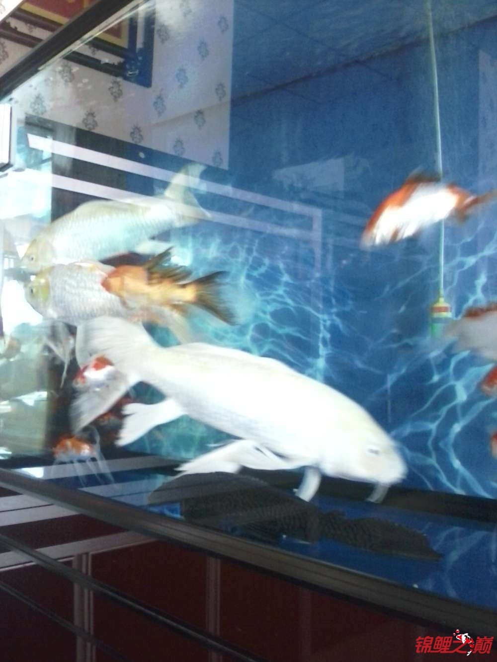 【西安黄化银龙】超大龙凤有图有真相 西安龙鱼论坛 西安博特第3张