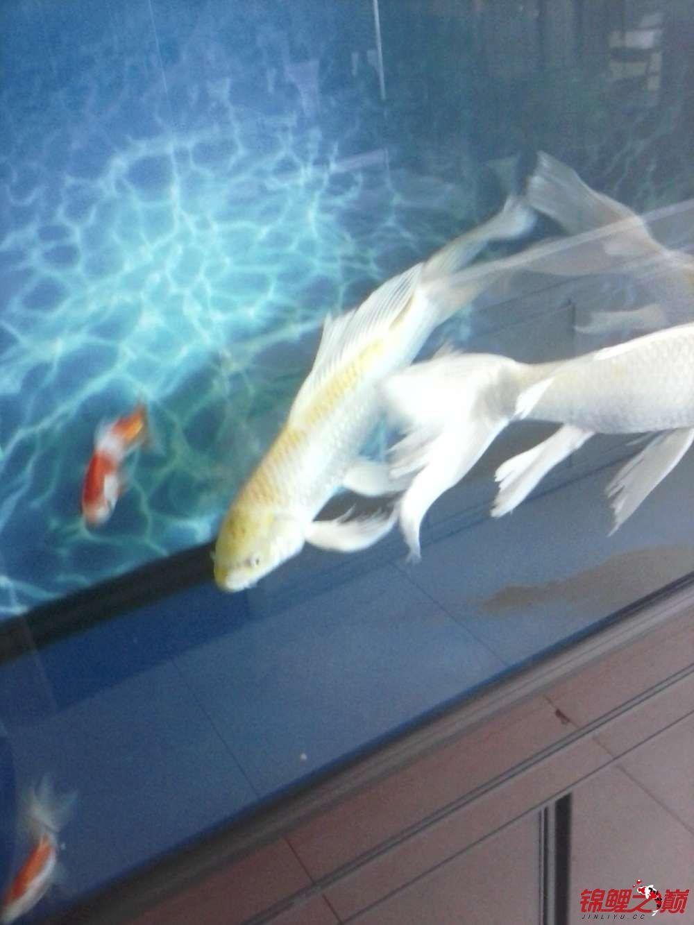 【西安黄化银龙】超大龙凤有图有真相 西安龙鱼论坛 西安博特第4张