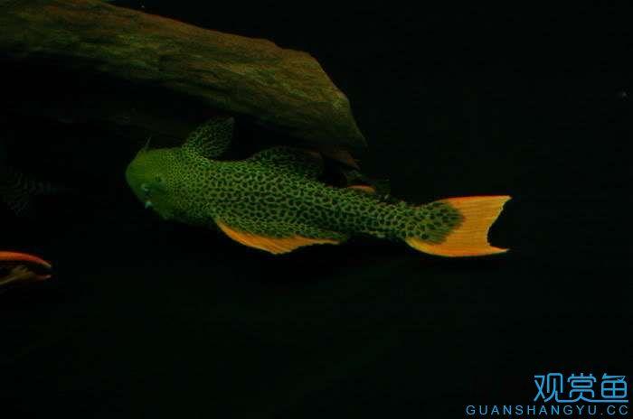 吃水果中 西安龙鱼论坛 西安博特第2张