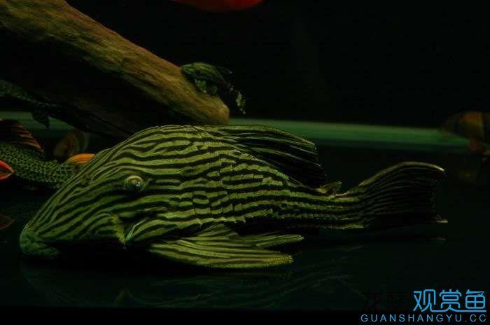 吃水果中 西安龙鱼论坛 西安博特第3张