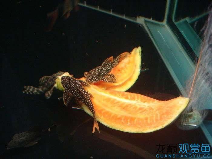 吃水果中 西安龙鱼论坛 西安博特第7张